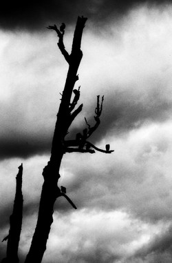 Silhouette bare tree and birds in Coyhaique Chile