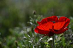 Wild Anemone, Lebanon_1003