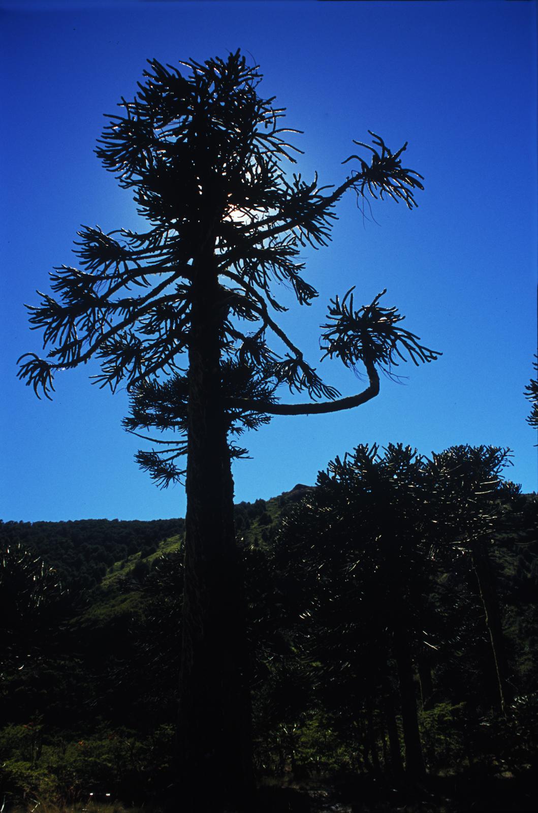 Monkey Puzzle Tree Patagonia Argentina