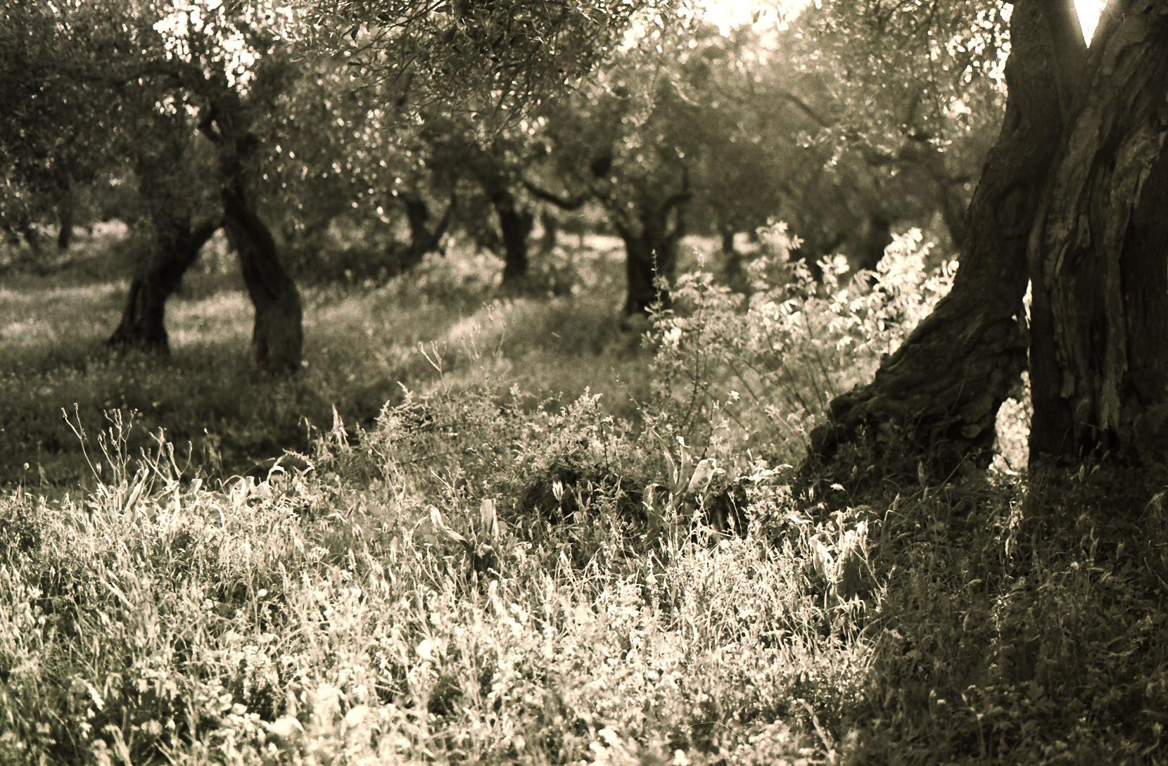 Olive grove in Chekka  - North Lebanon