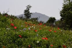 Spring flowers in Lebanon 0971