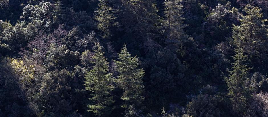 cedar forest