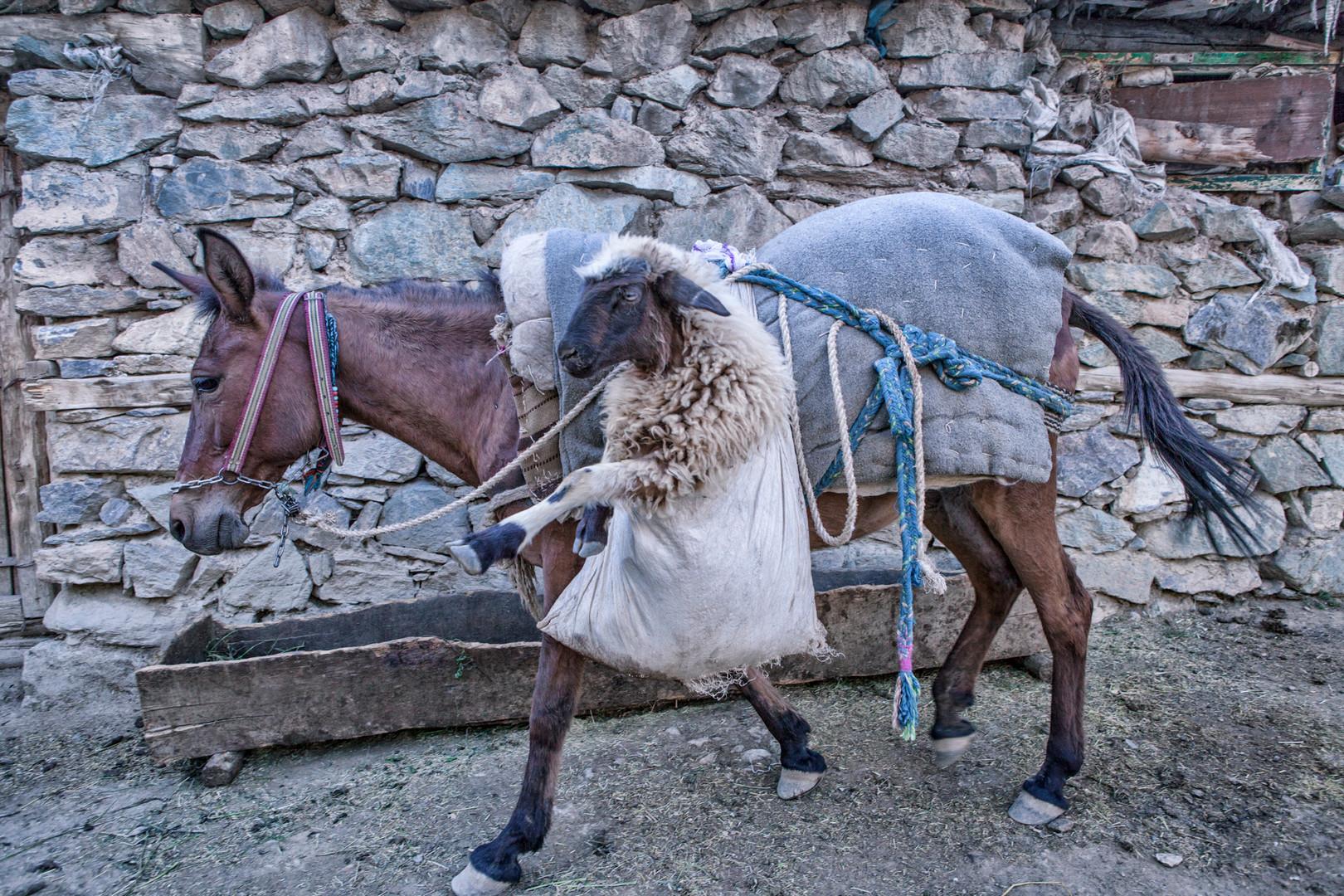 The Sheep in the Saddlebag. The horse carries the sheep to the barn. Bilgi, Van. June 2017.