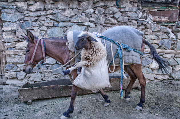 The Sheep in the Saddlebag. The horse carries the sheep to the barn. Van, Turkey. June 2017.