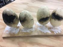 Evil Spider Eggs
