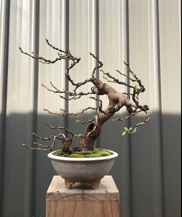 Malayadragon Yee's tree