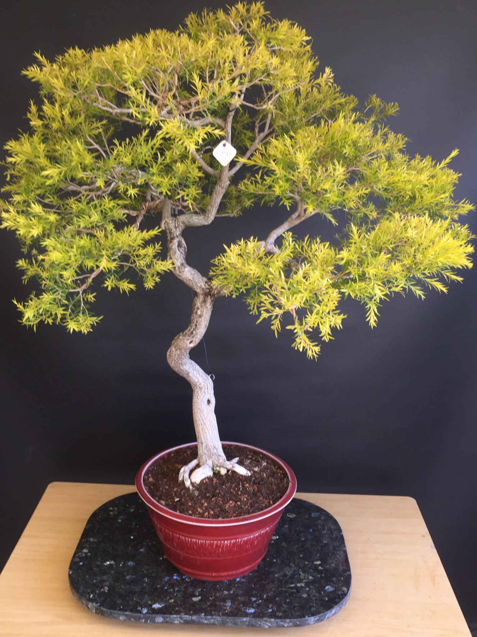 Nick's Melaleuca Bracteata Golden Gem
