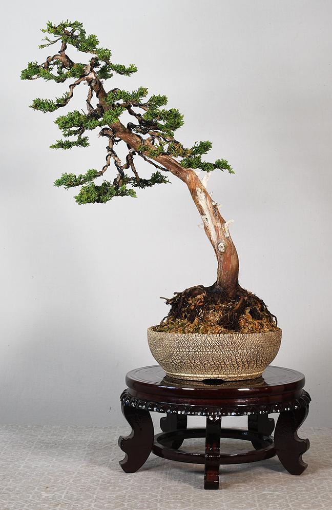 Juniperus chinensis 8 (Shinpaku Junpier)