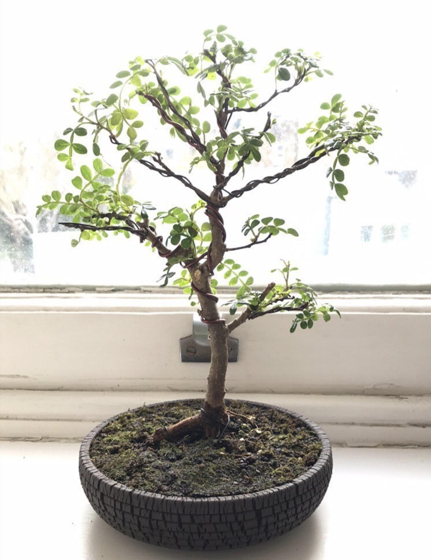 Lachlan's tree