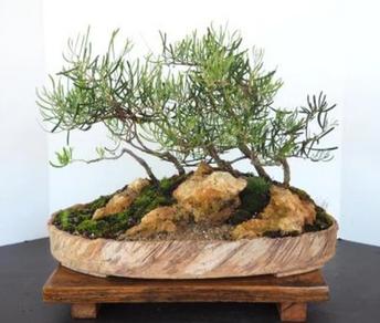 Mary's Acacia Pinguifolia group in a custom made pot.