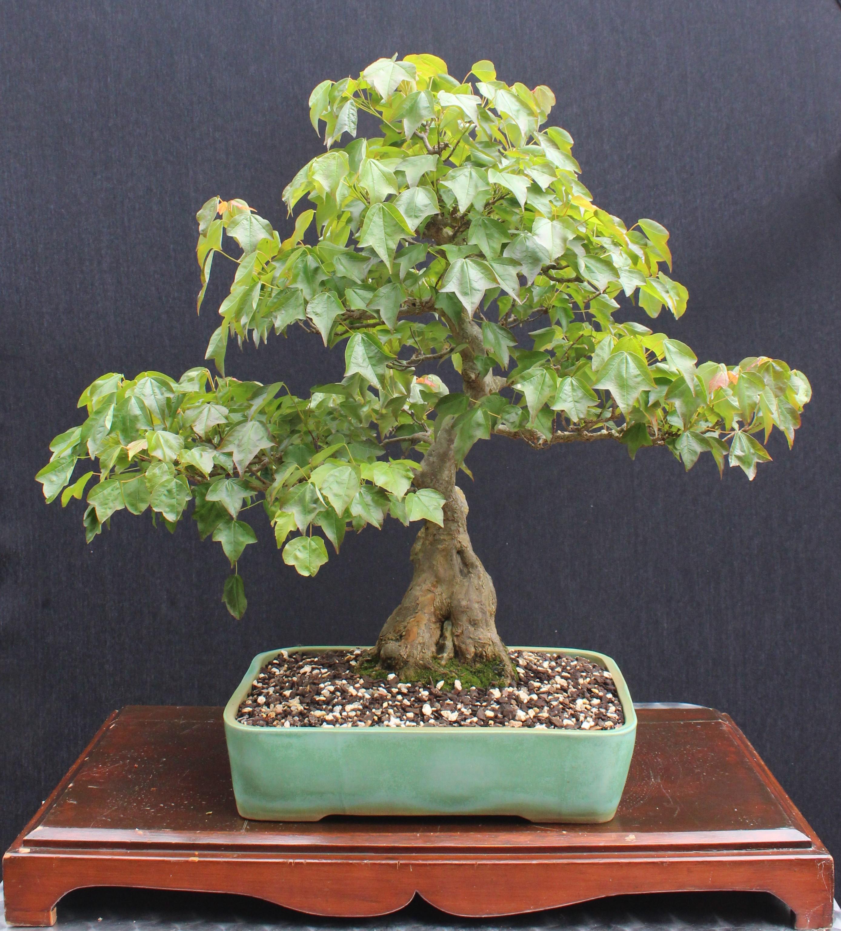 Victor's maple