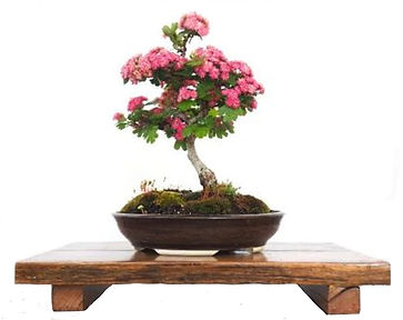 isolated-bonsai.jpg