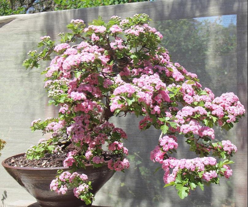 Diederik's flowering Hawthorn.