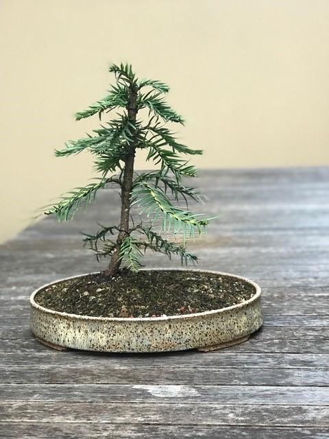 2017 - Graham's Wollemi Pine
