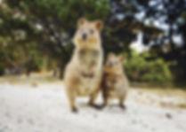 Quokkas-on-Rottnest-Island-image-credit-