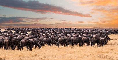 Enchanting-Travels-Wildebeest-migration-