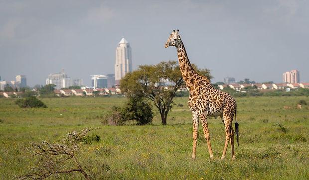 Giraffe-in-Nairobi-city-the-capital-of-K