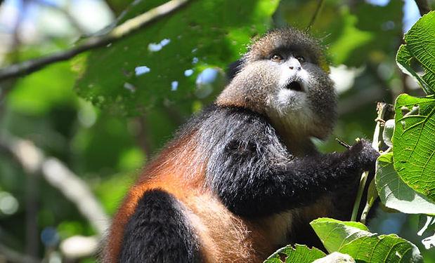 golden-monkey.jpg