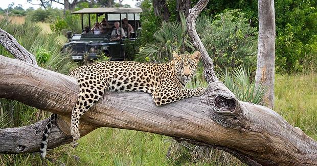 moremi-game-drive-leopard.jpg