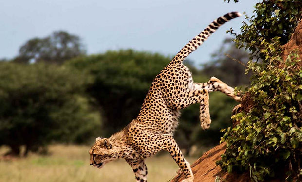 Tarangire-National-Park-cheetah-1280x869