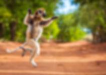 Madagascar-Sifaka.jpg
