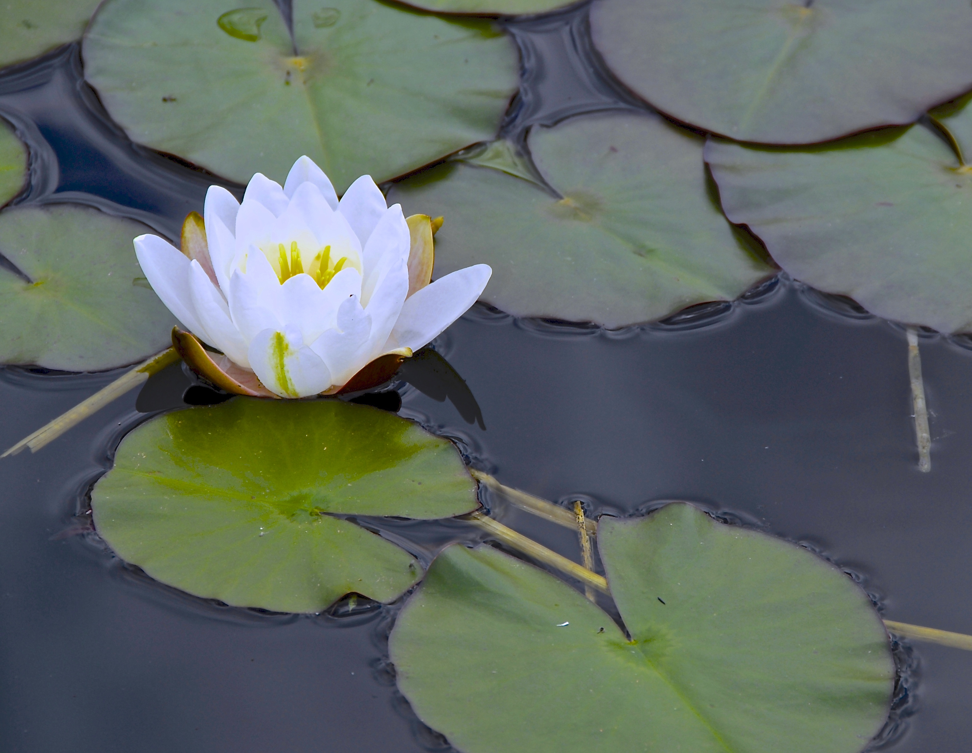 iS.waterLilly