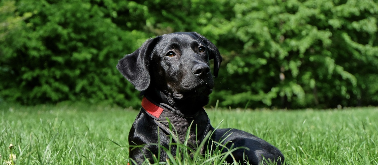 dog-black-labrador-black-dog-162149_edited_edited_edited