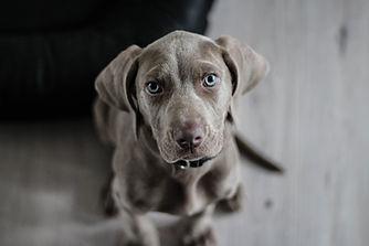 weimaraner-puppy-dog-snout-97082.jpeg