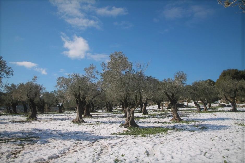 שלג במטע זיתים בגליל