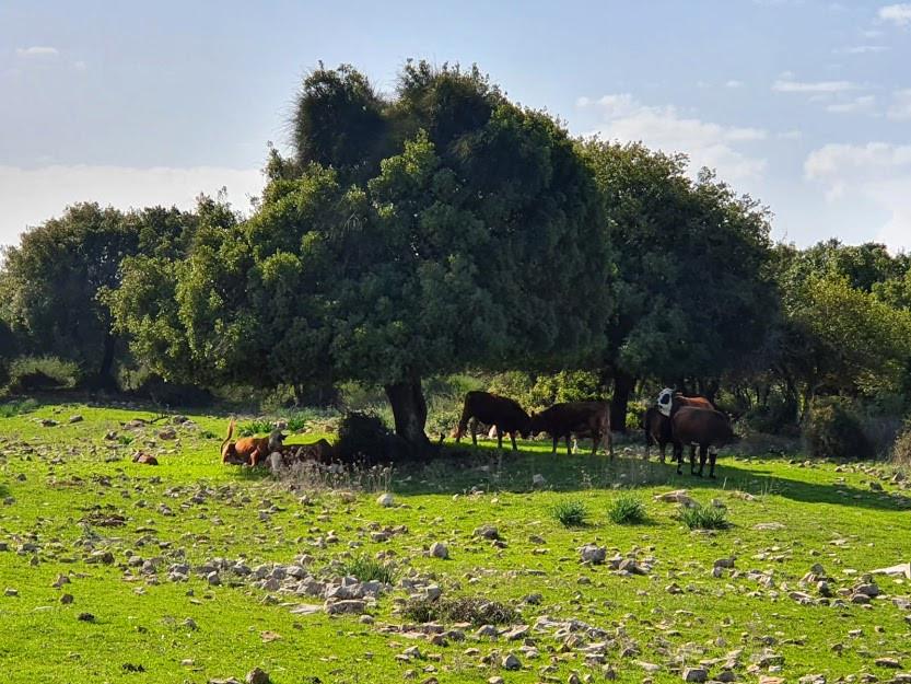 פרות עומדות מתחת לעץ בכרמל