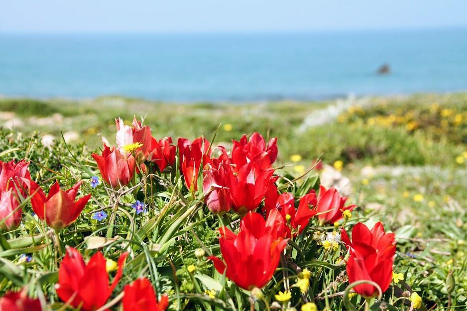 פריחת צבעונים בחוף הבונים