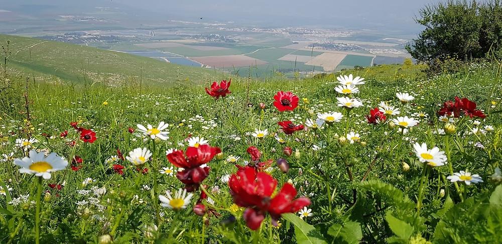 פריחה אביבית של פרחים צבעוניים בפסגת הר הגלבוע