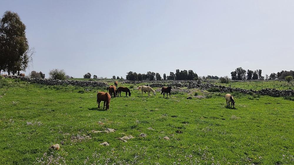 סוסים רועים באחו ירוק ברמת הגולן על שביל הגולן