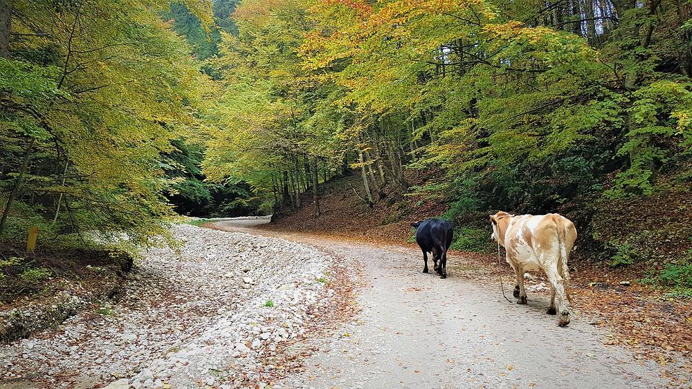 נוף שלכת ופרות ברומניה בנקיק זרנשטי