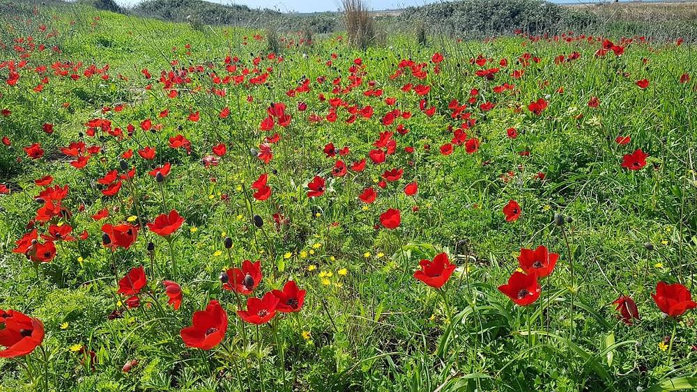 פריחת כלניות בגבעות הכורכר של מעגל מיכאל