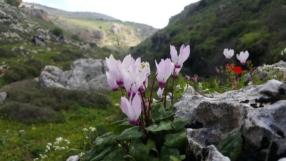 נחל אביב ונחל דישון טיול פריחה בגליל