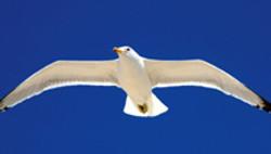 Gull - Nevada