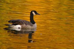 Camada Goose - Nevada