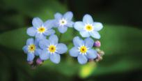 Flowers - Glacier Park - Montana