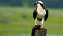 Osprey - Montana