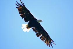 Bald Eagle - California