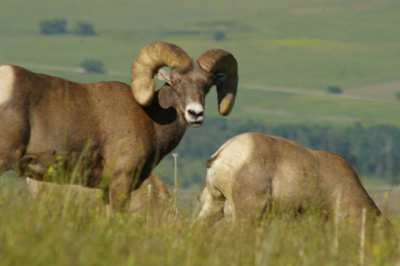 Big Horn Sheep - Montana