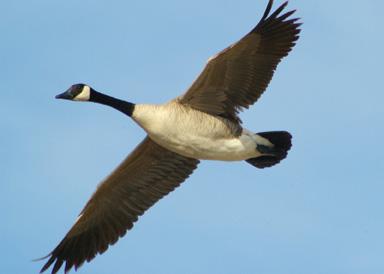 Canada Goose - Nevada