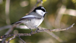 Mountain Chickadee - Nevada