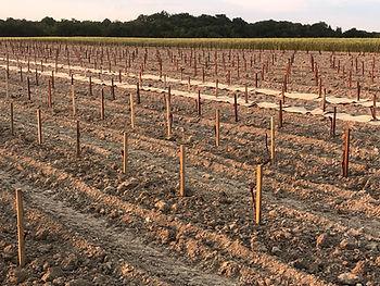 AGRORESTERIE VITIFORESTERIE AGROECOLOGIE 2021 06 10 plantation terminée dans les