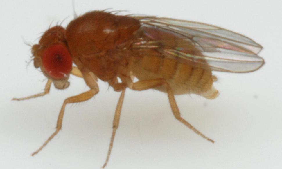 D. papuensis-like