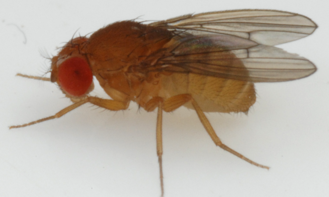 D. sulfurigaster