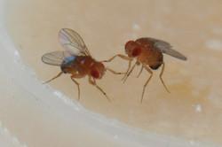 D.melanogaster males fighting