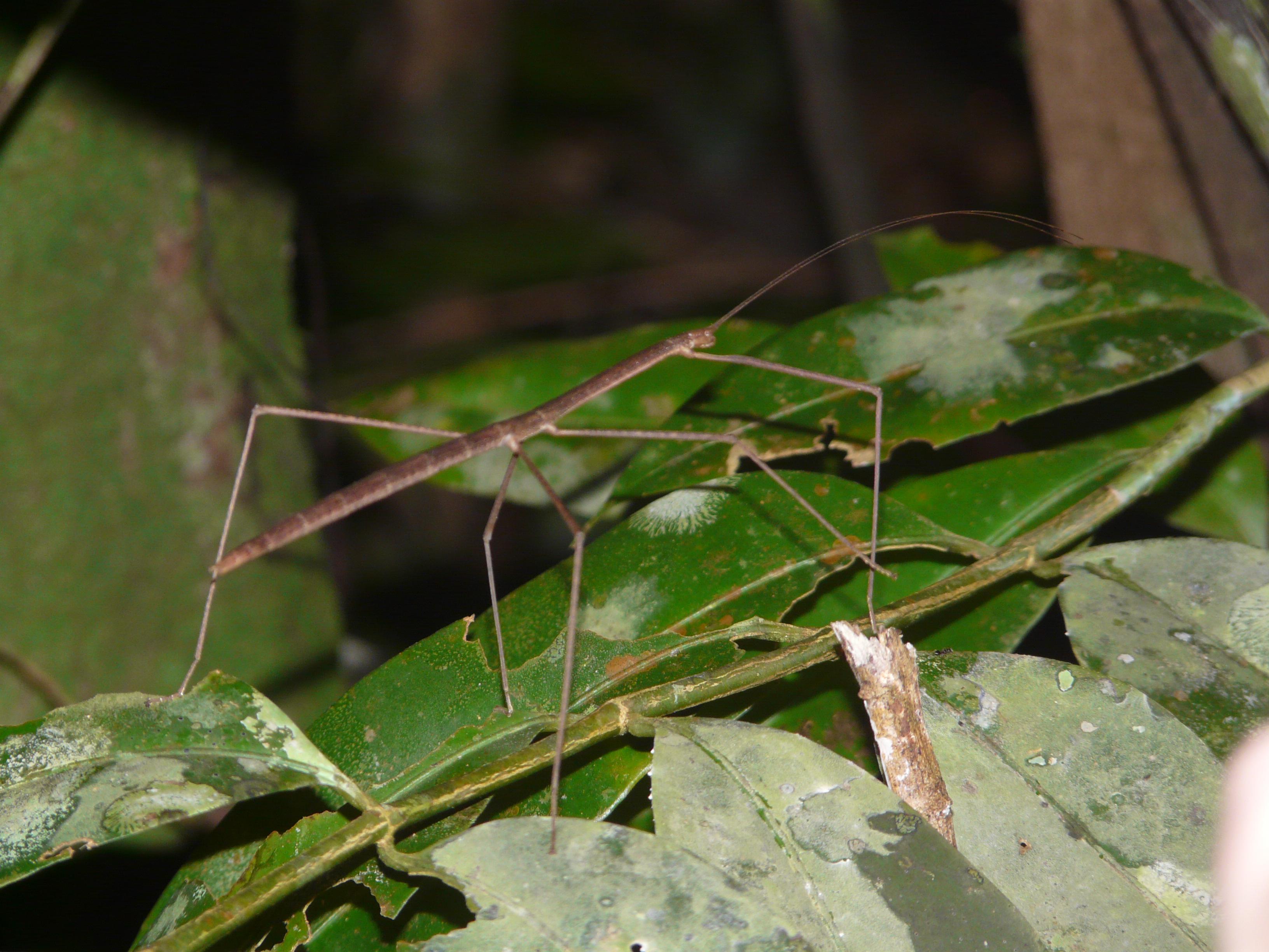 Stick Insect Borneo