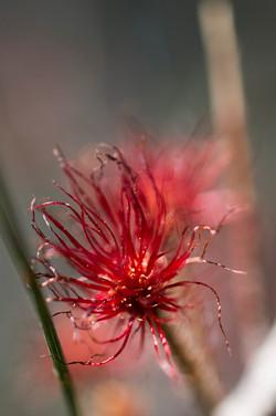 She Oak flower